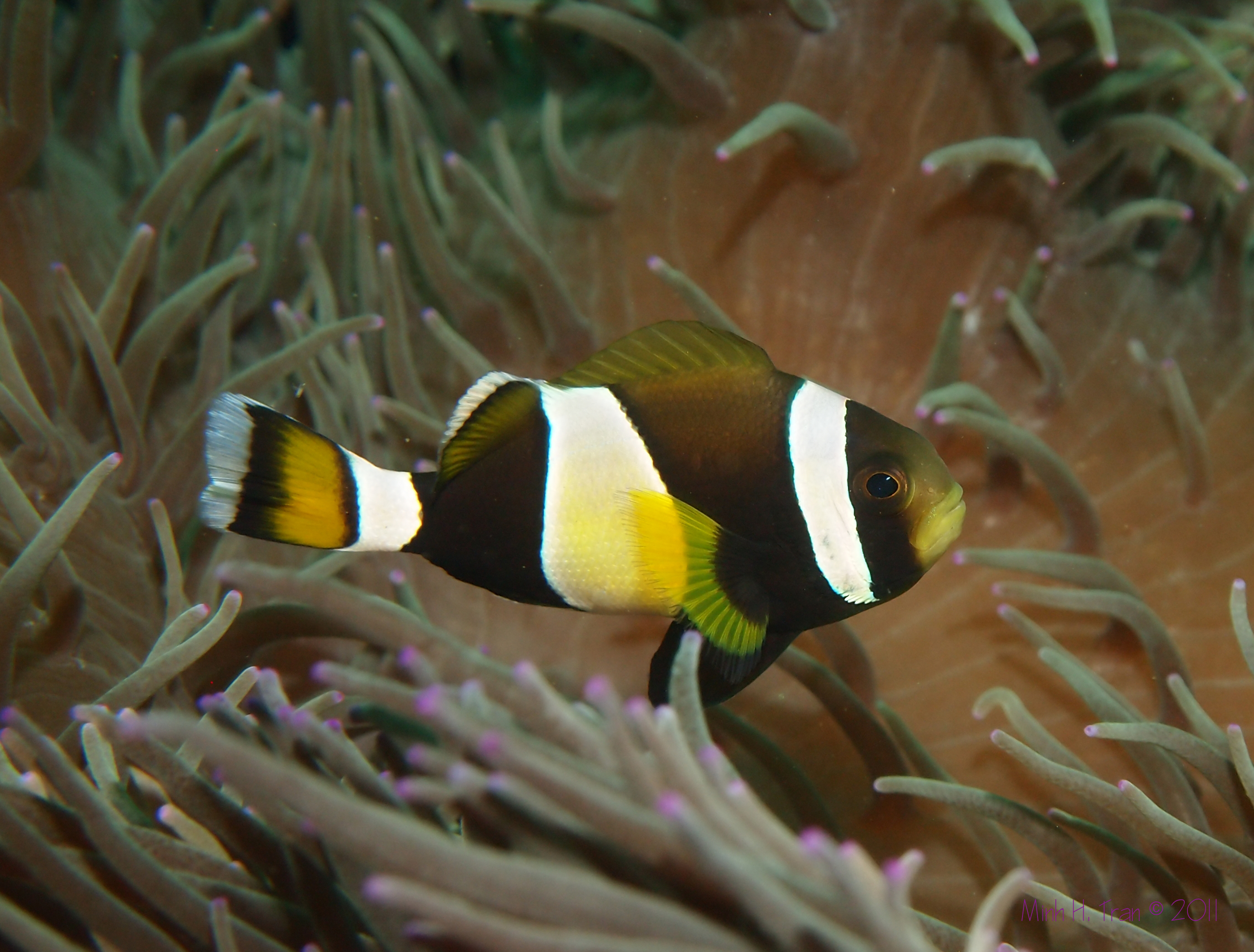 Clownfish Coffs Harbour, NSW