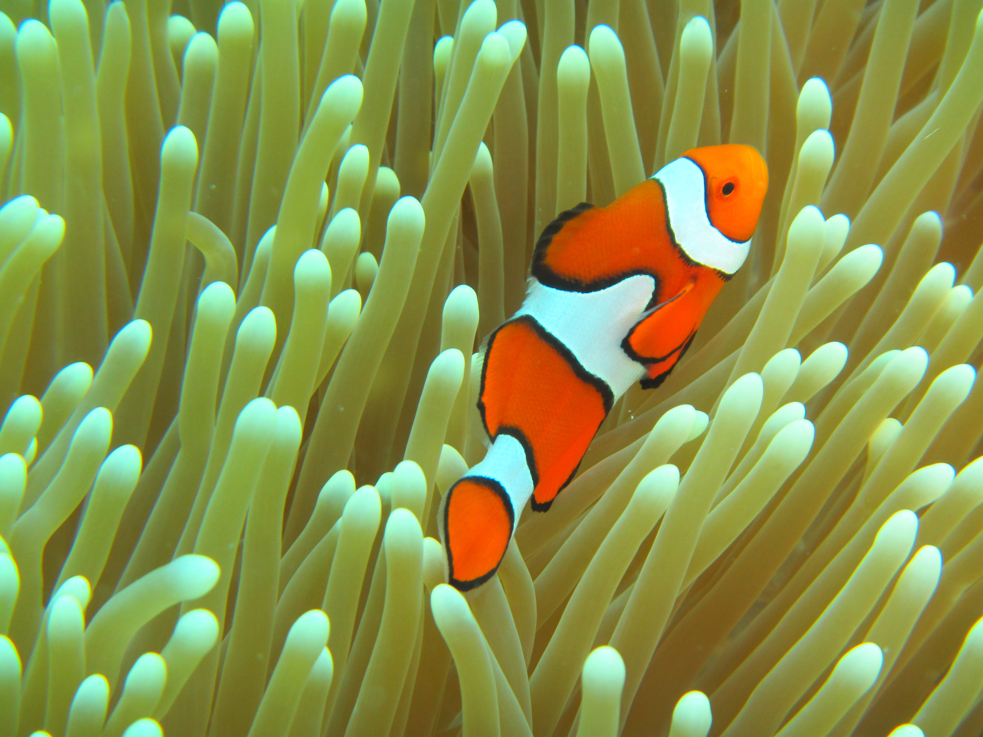 Will the real clown fish please stand up Australia