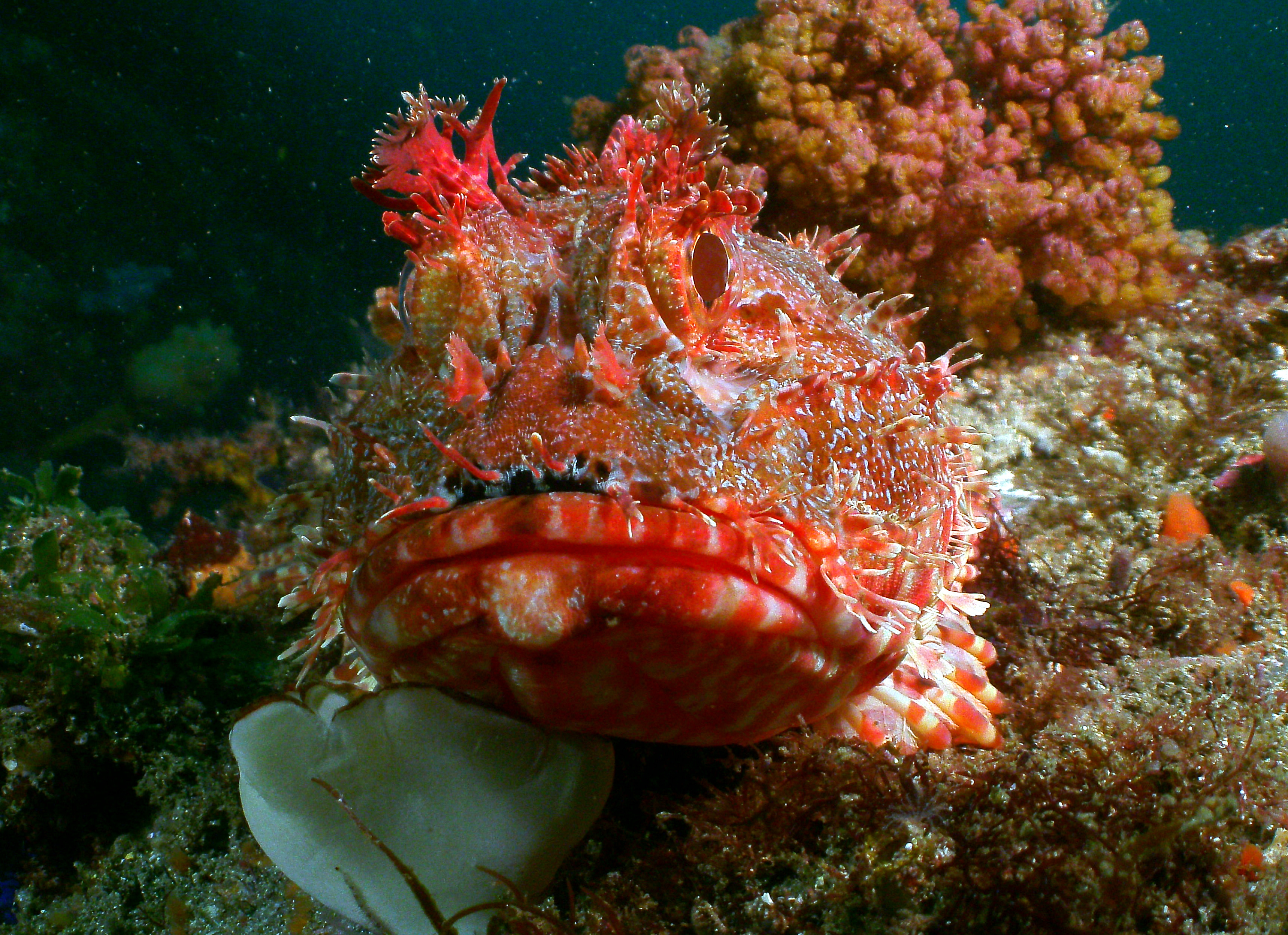 Scorpionfish Bass Point Shellharbour
