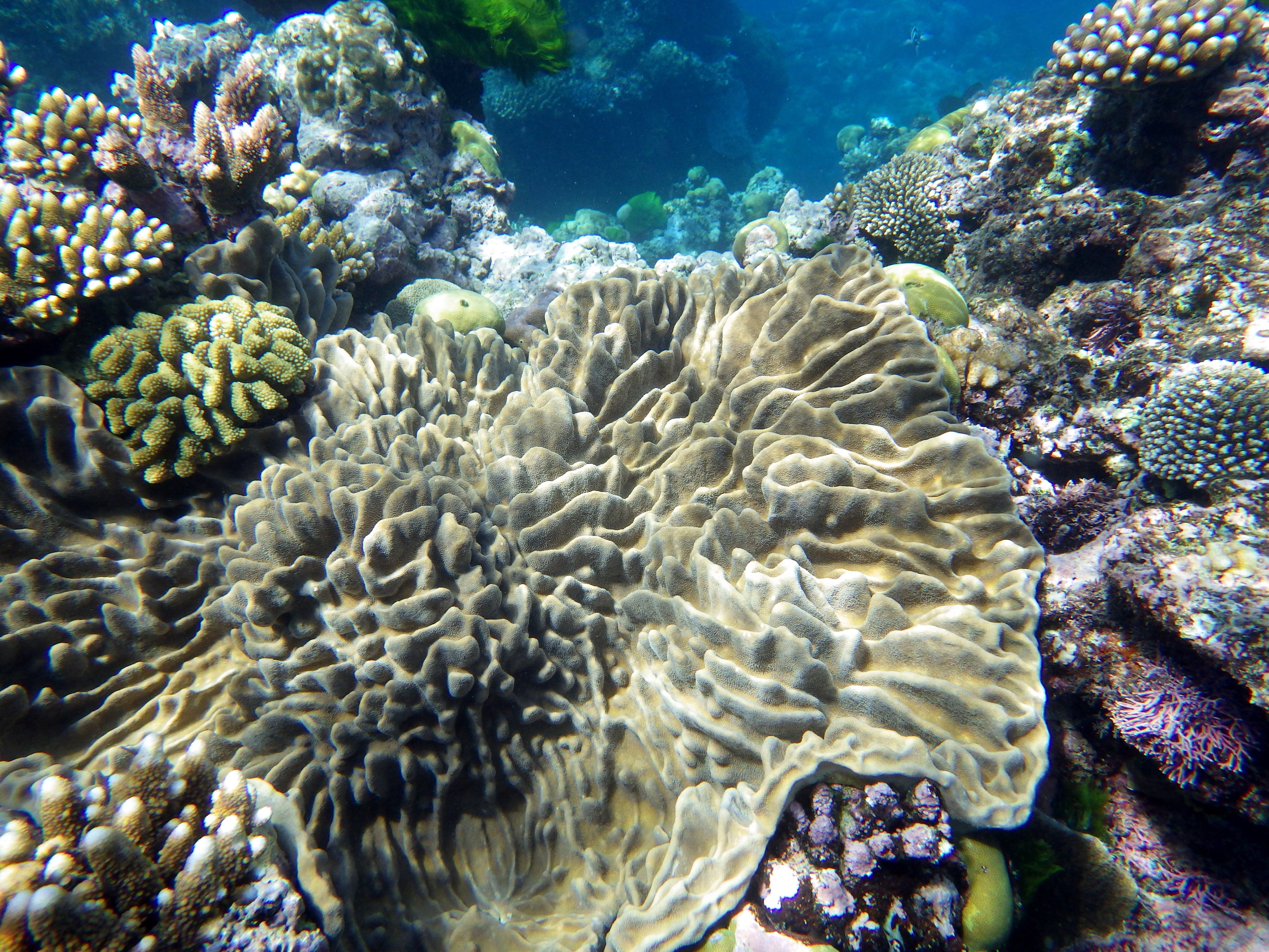 Coral Agincourt reef