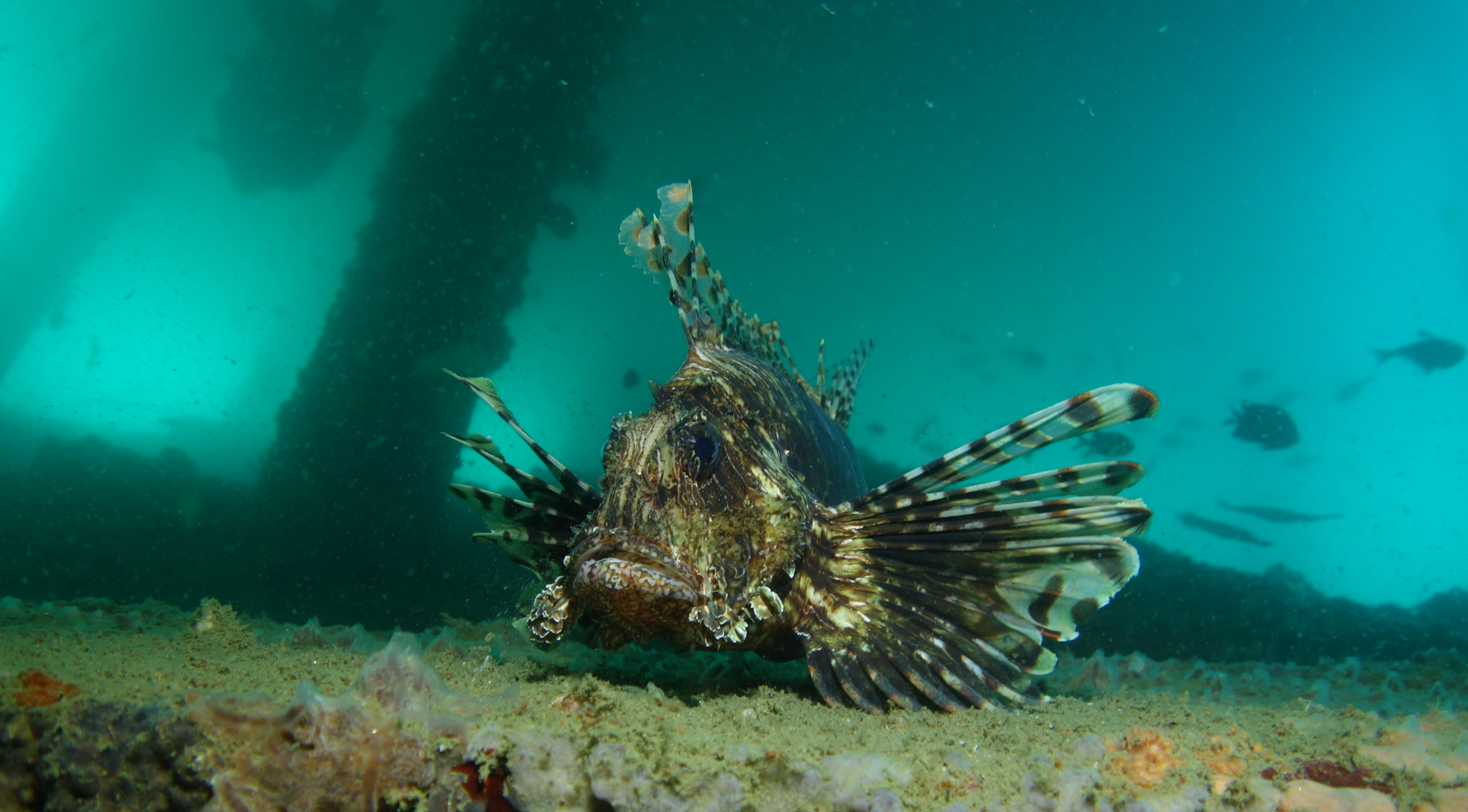 Lionfish under the jetty Ambon, Indonesia