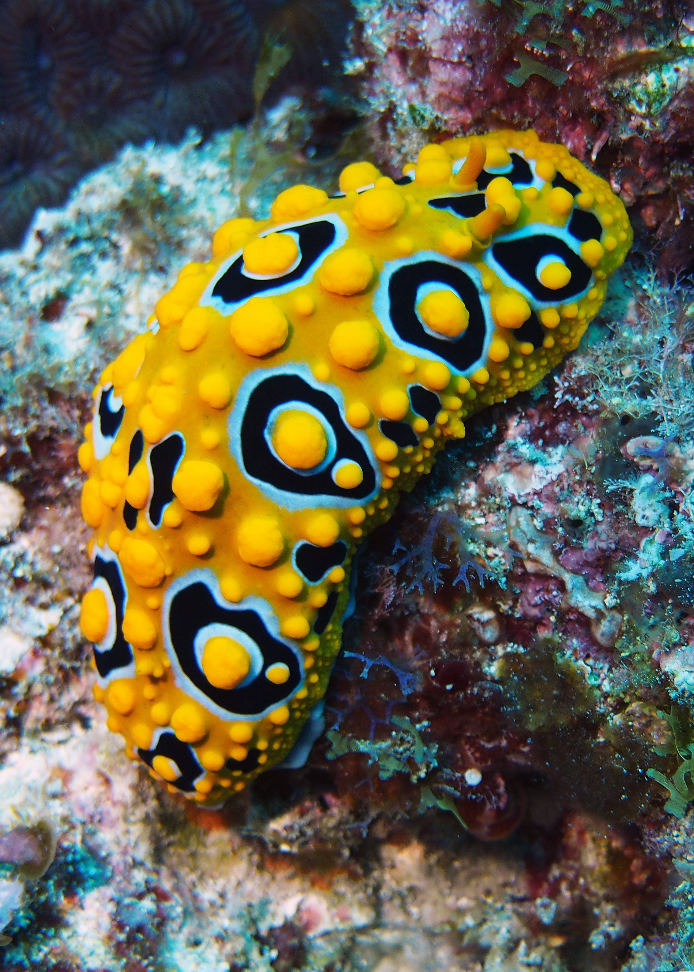 Ocellate Phyllidia Ruperts Reef LHI