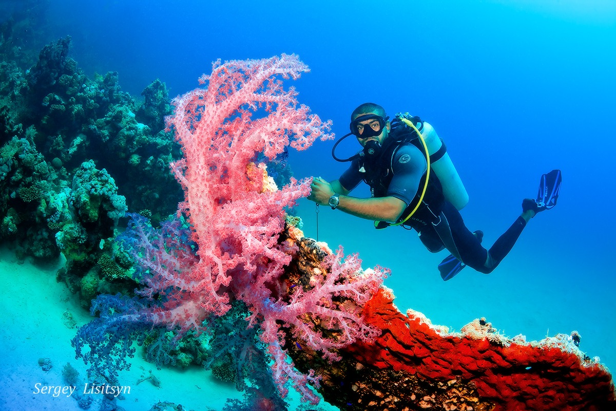 Fire Corals South Red Sea - Egypt