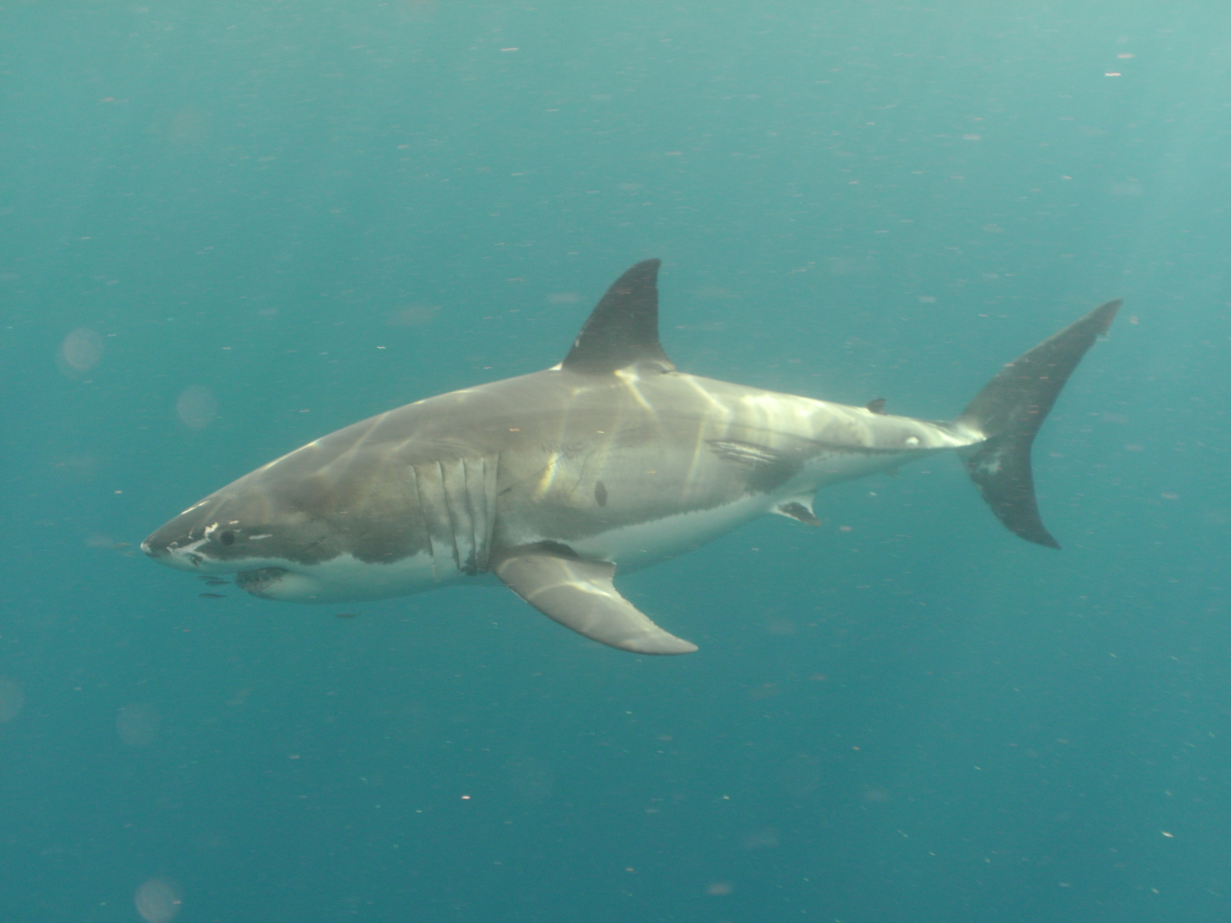 Great White Neptune Is SA