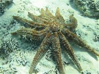 11 Arm Sea Star