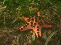 Chocolate Chip Star Fish