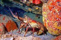 Lobster in Cave