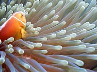 Clown and Anemone