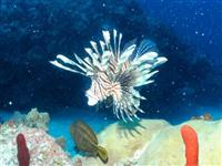 Hungry lion Fish