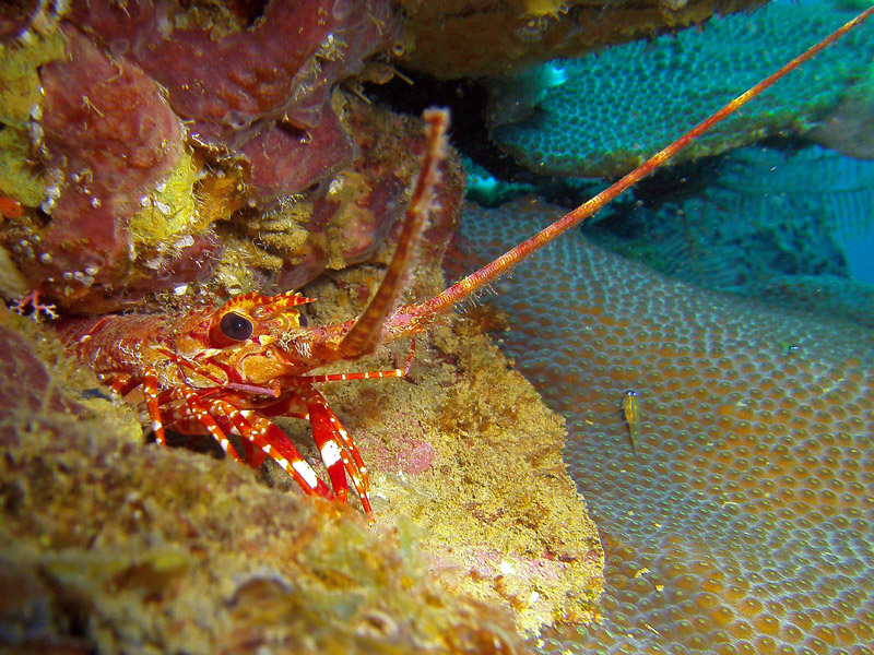 Red Banded Lobster St. Lucia