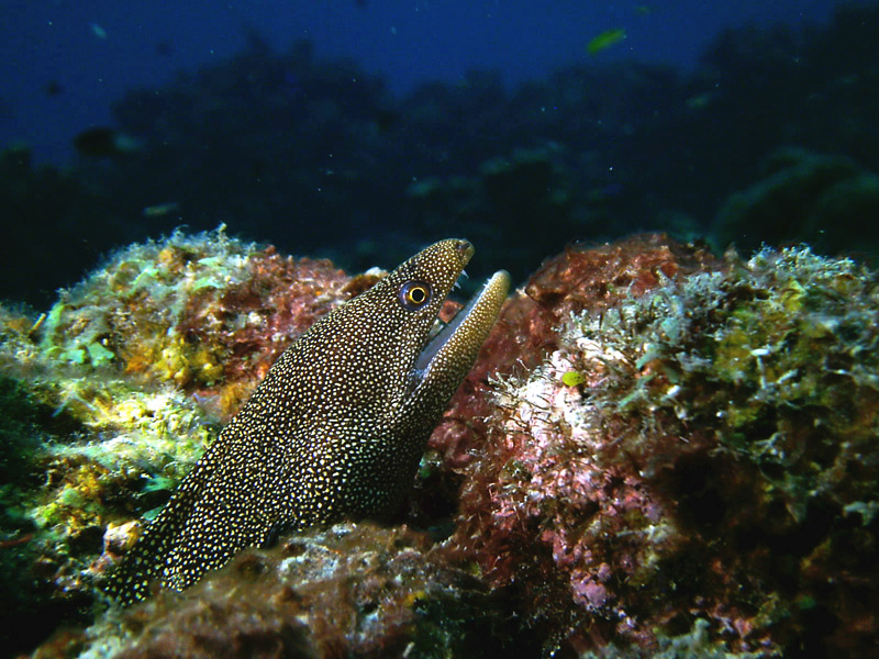 Goldentail Moray Eel St. Lucia