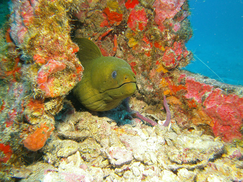 Moray Eel Key Largo, FL